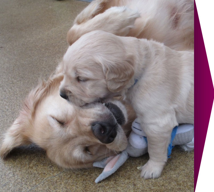 calin: chiot golden retriever et maman