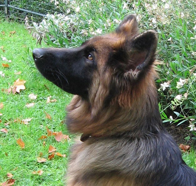 chien guide berger allemand 1