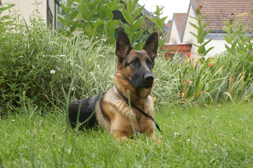 chien-guide-berger-allemand-2.jpg
