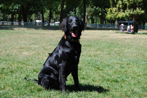 chien-guide-flat-coated-retriever.jpg