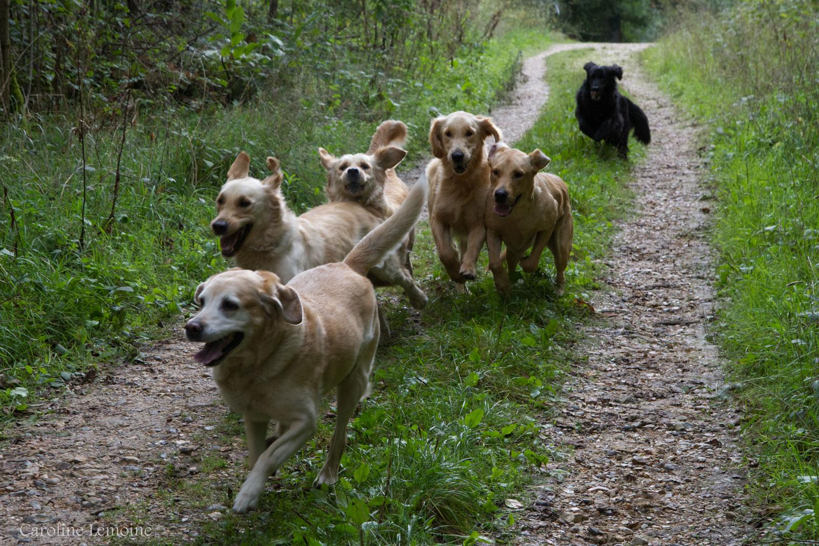 6 retrievers courrent dans le bois