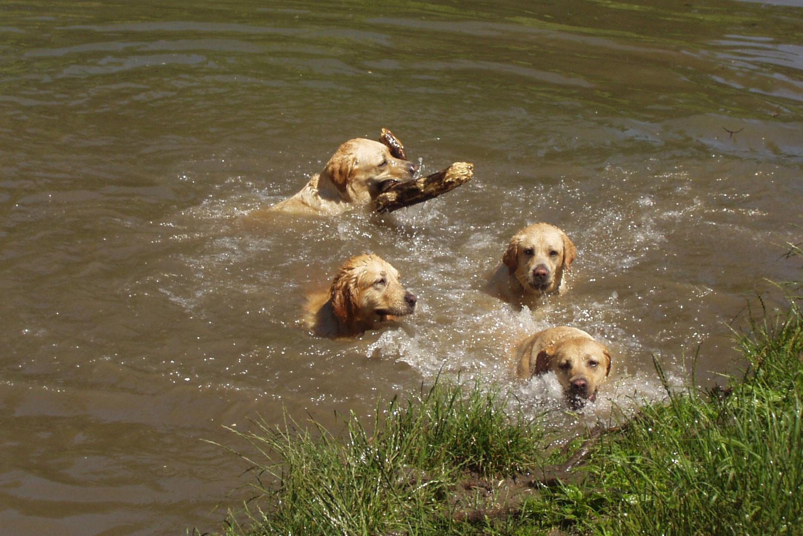 4 retrievers se baignent dans un ruisseau