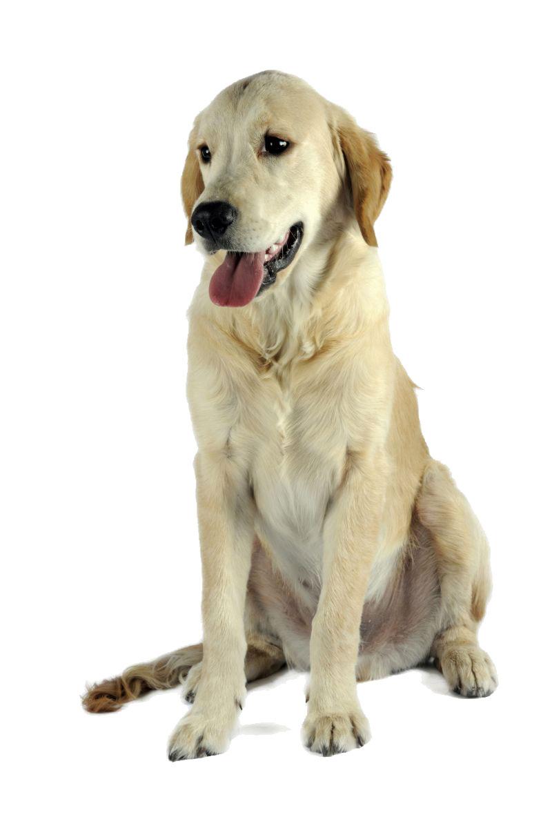 Golden retriever - chien guide Paris